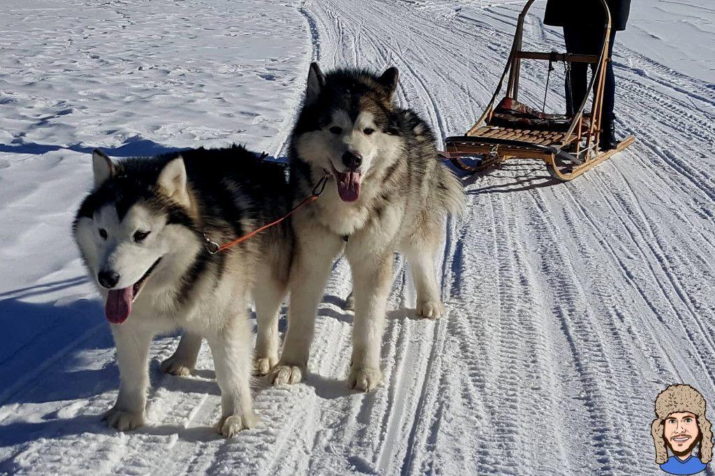 2 Malamuten Hunde machen gerade Pause während einer Hundeschlittentour